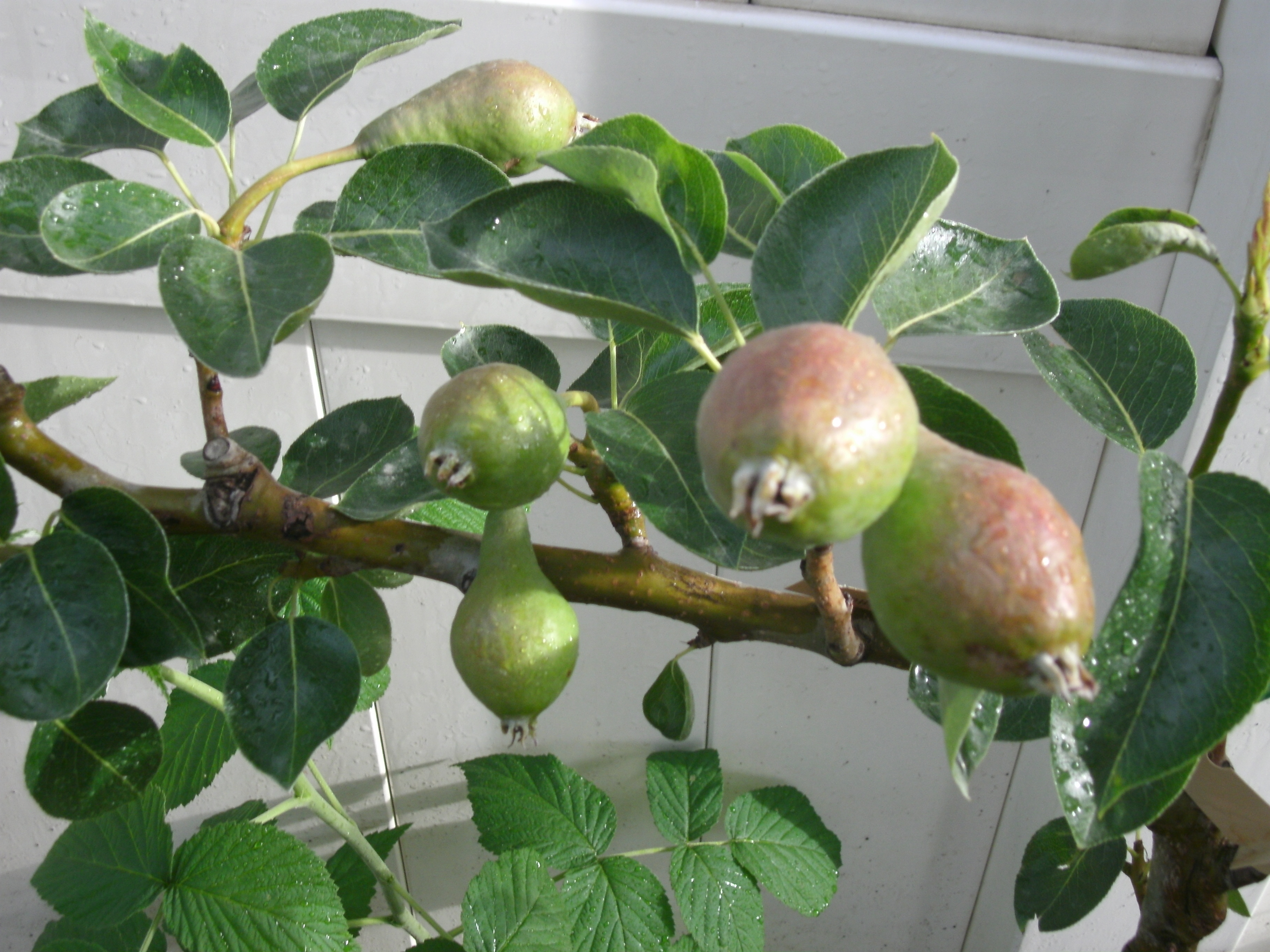 Espalier asian pear trees