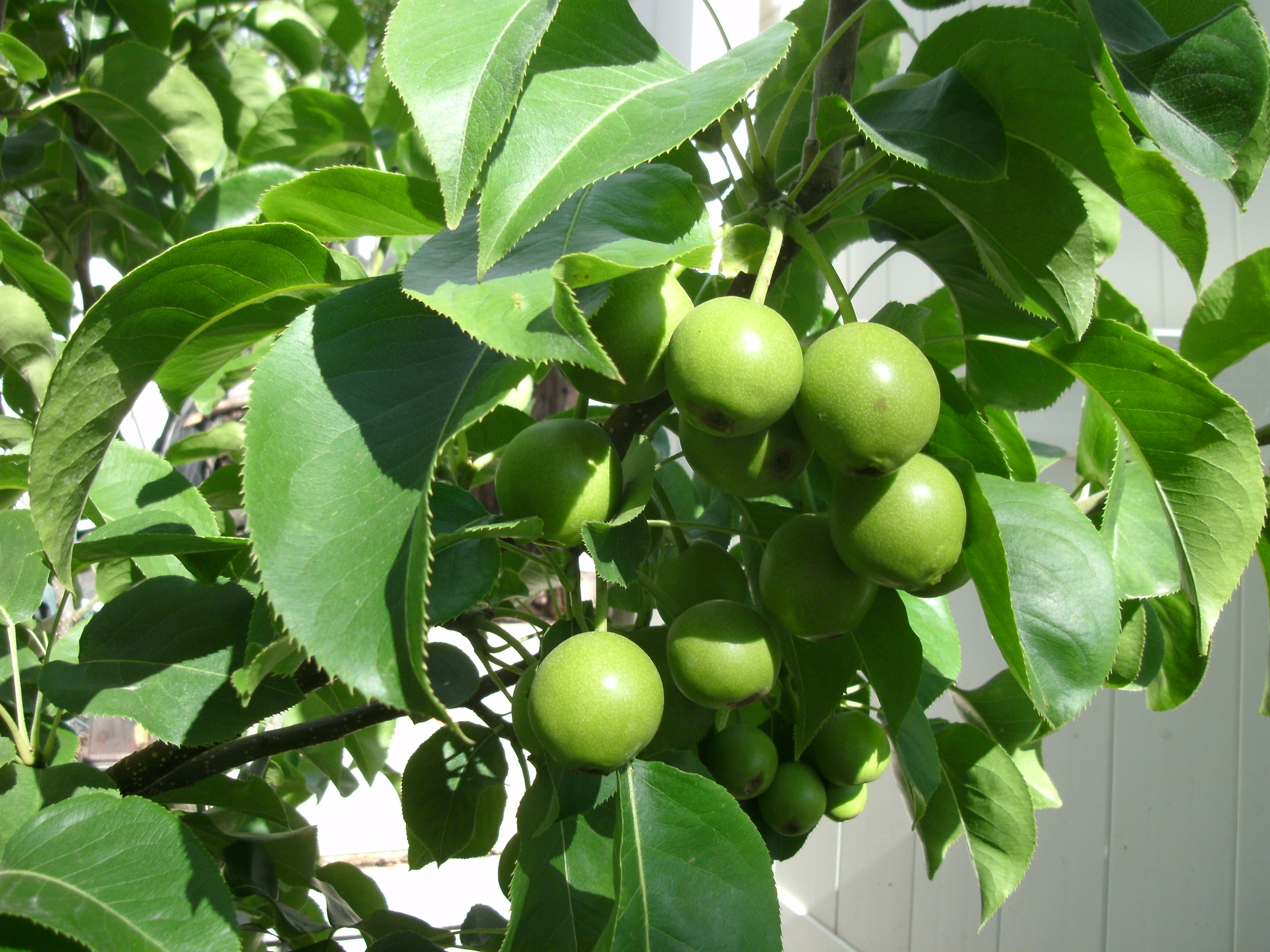 Espalier asian pear trees