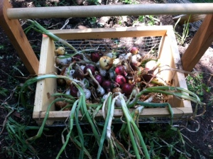 picked onions
