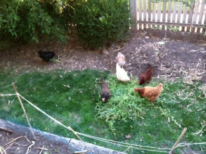 chickens and weeds