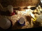 chicks 1